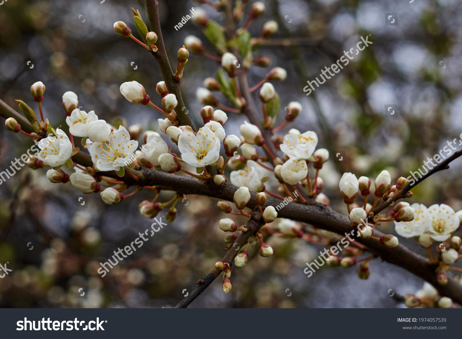 White beautiful flowers in the tree blooming in the early spring, backgroung blured. High quality photo #1974057539