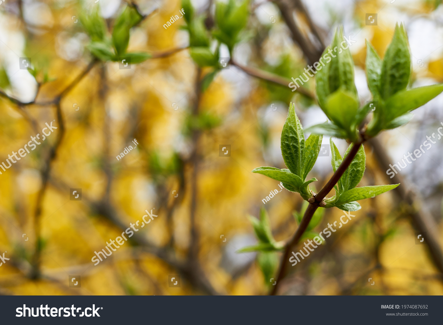 green blossoming leaves on the background of Blooming yellow forsythia. Bright natural background.  #1974087692