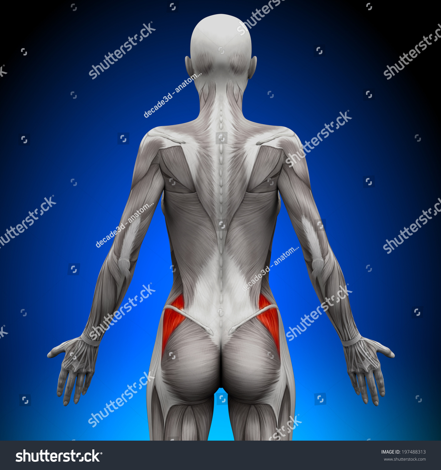 Glutes Medius Female Anatomy Muscles Stock Illustration 197488313 ...