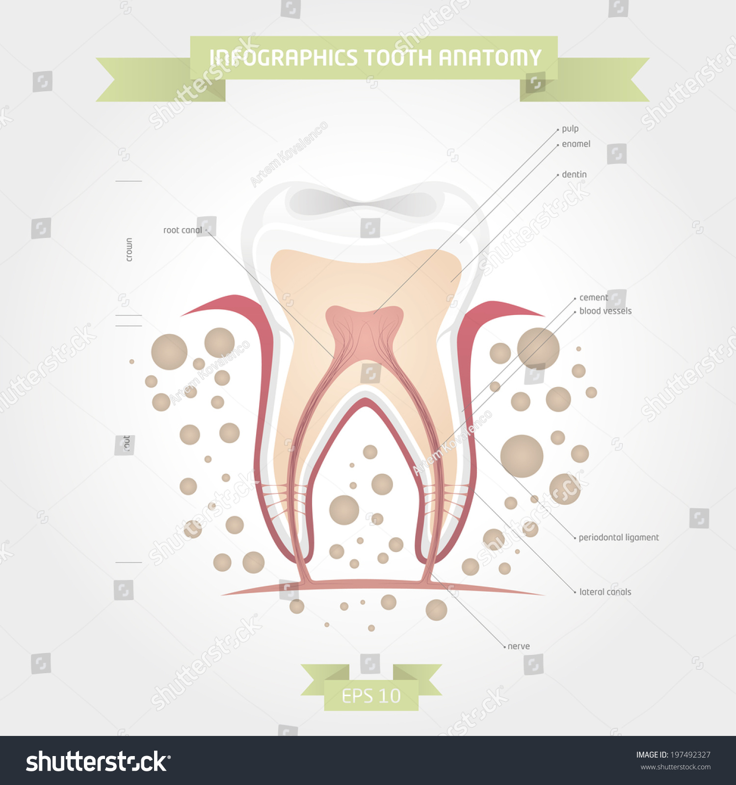 Vector Illustration Infographics Tooth Anatomy Appliances Stock ...