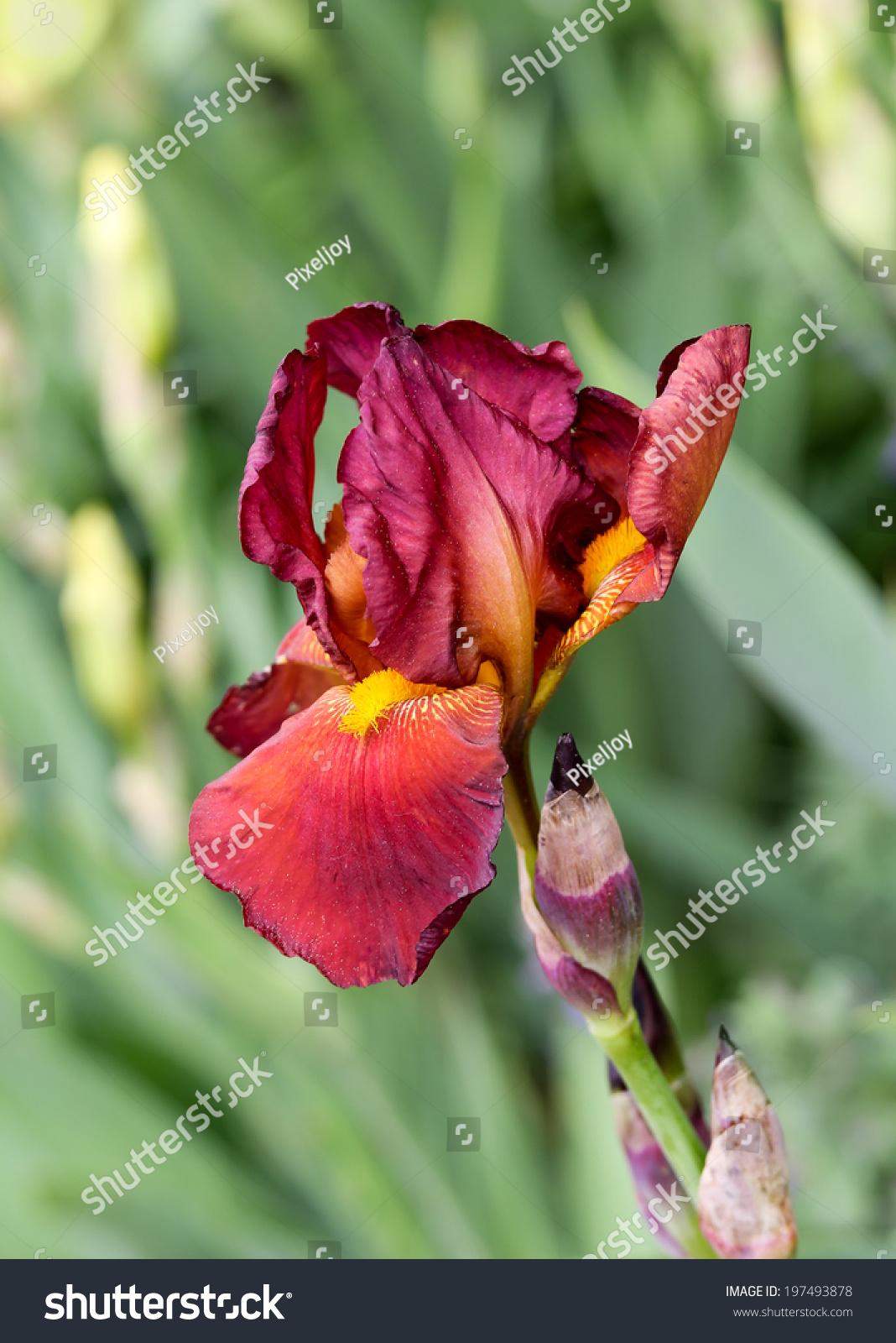 Red Iris Flower Stock Photo Royalty Free 197493878 Shutterstock