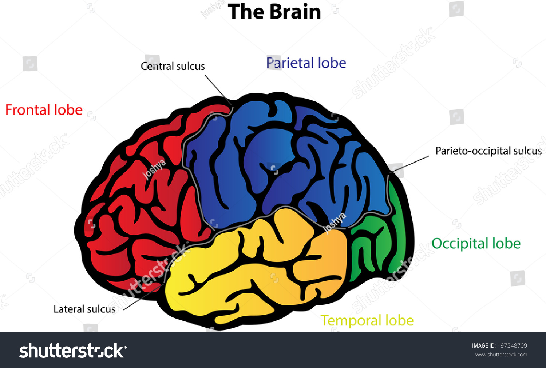 Brain Anatomy Labeled Diagram Stockillustration 197548709 Shutterstock
