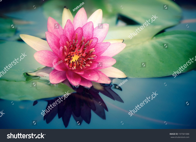 This beautiful waterlily lotus flower complimented stock photo edit this beautiful waterlily or lotus flower is complimented by the rich colors of the deep blue izmirmasajfo