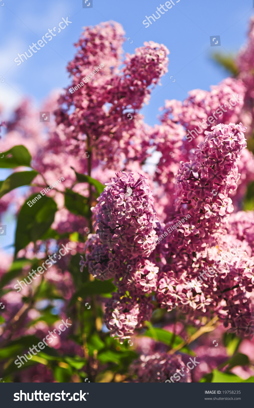 Abundant Flowers Of Purple Lilac Blooming In Late Spring Ez Canvas