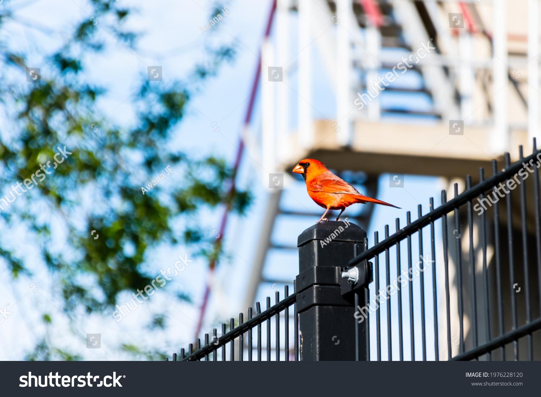 stock-photo-beautiful-northern-cardinal-