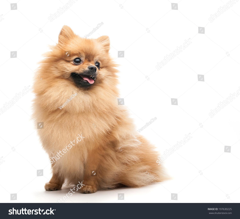 Pomeranian Dog Sitting On White Background Ez Canvas