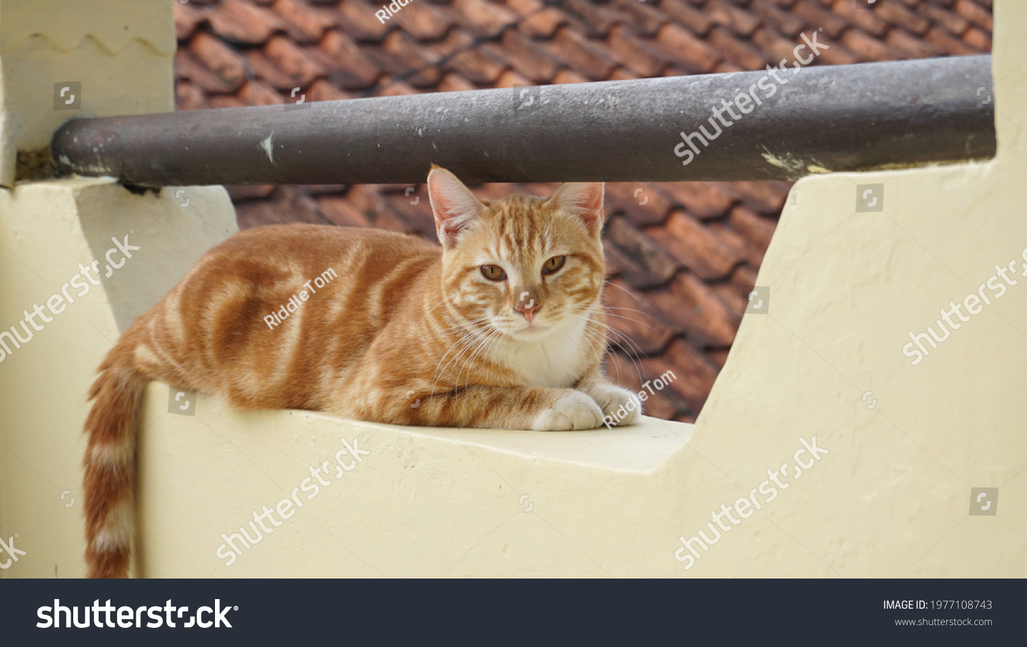 The orange cat getting rest in the balcony #1977108743