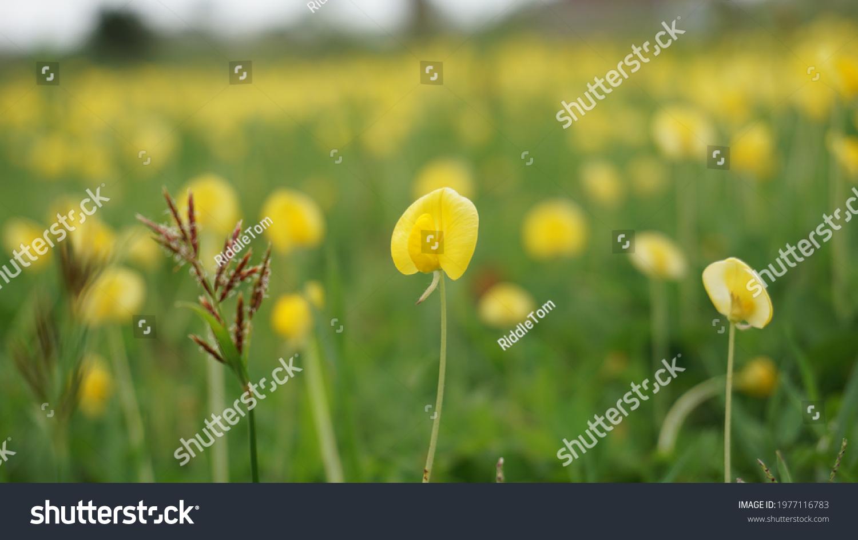 Field full of yellow flower #1977116783