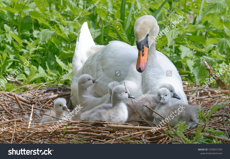 stock-photo-mute-swan-cygnus-olor-in-the