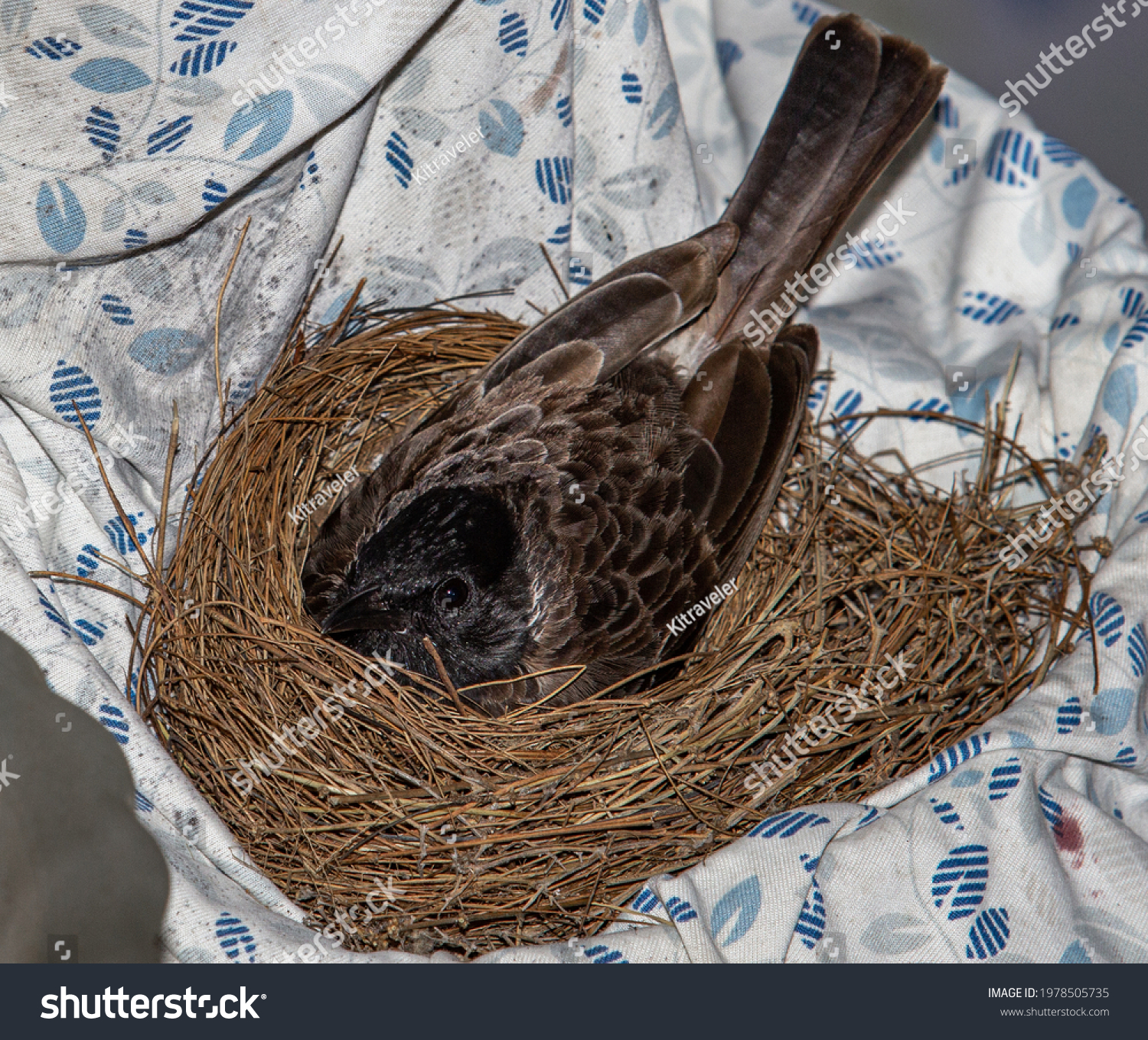 stock-photo-red-vented-bulbul-hatching-e