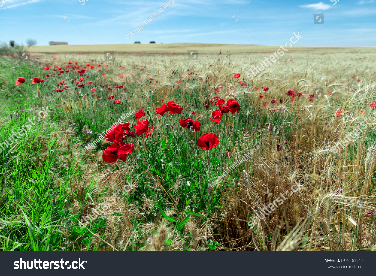 Field of red poppies among dry ears of wheat