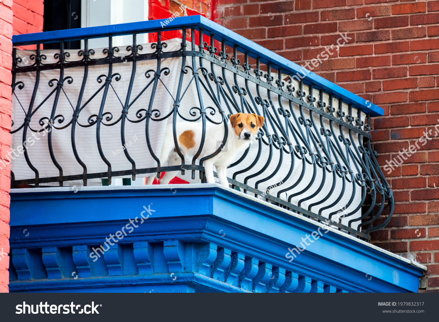 Cute  Jack Russell Terrier curiously looking through a metal railing on a balcony