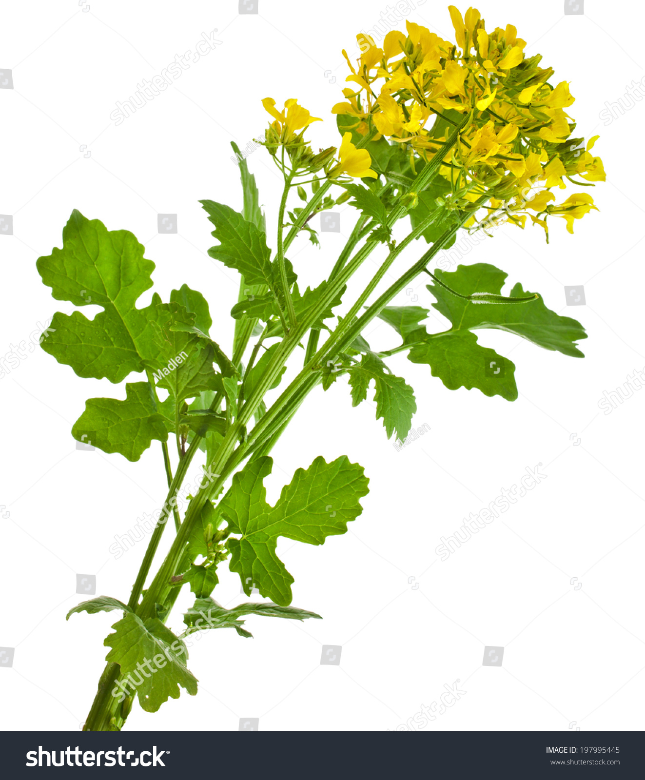 Mustard Blooming Plant ( Brassica Nigra) Isolated On White ...