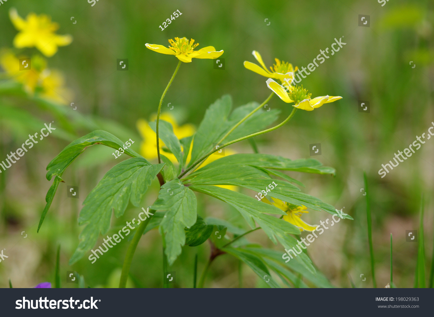 Yellow Wood Anemone Flowers In The Garden Ez Canvas