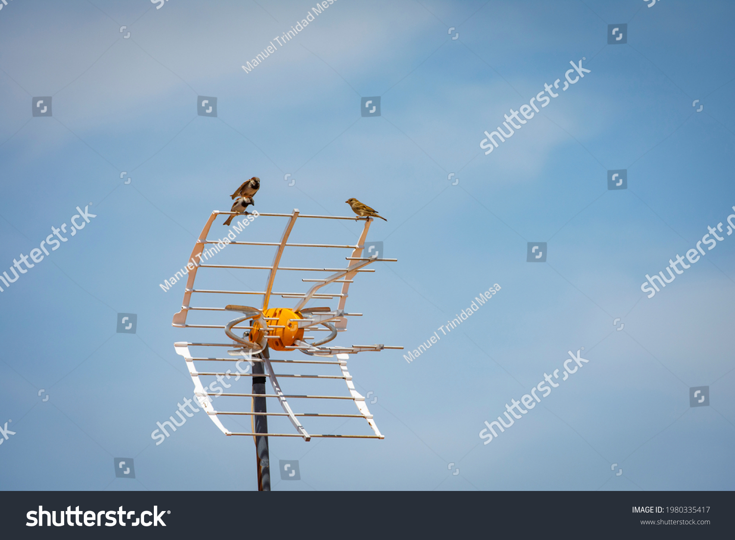 stock-photo-two-male-sparrows-fight-over