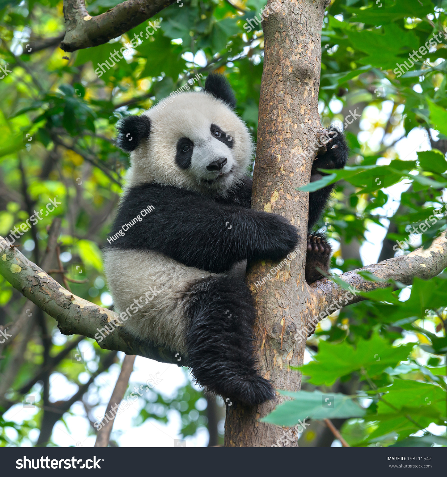 Panda Bear In Tree Stock Photo 198111542 : Shutterstock