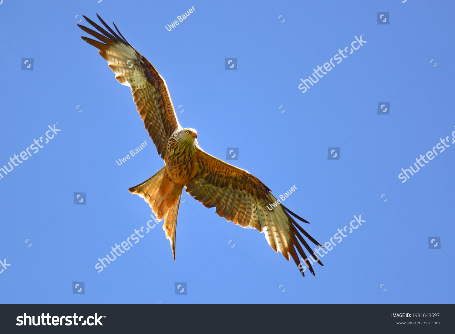 stock-photo-flying-red-kite-in-the-clear