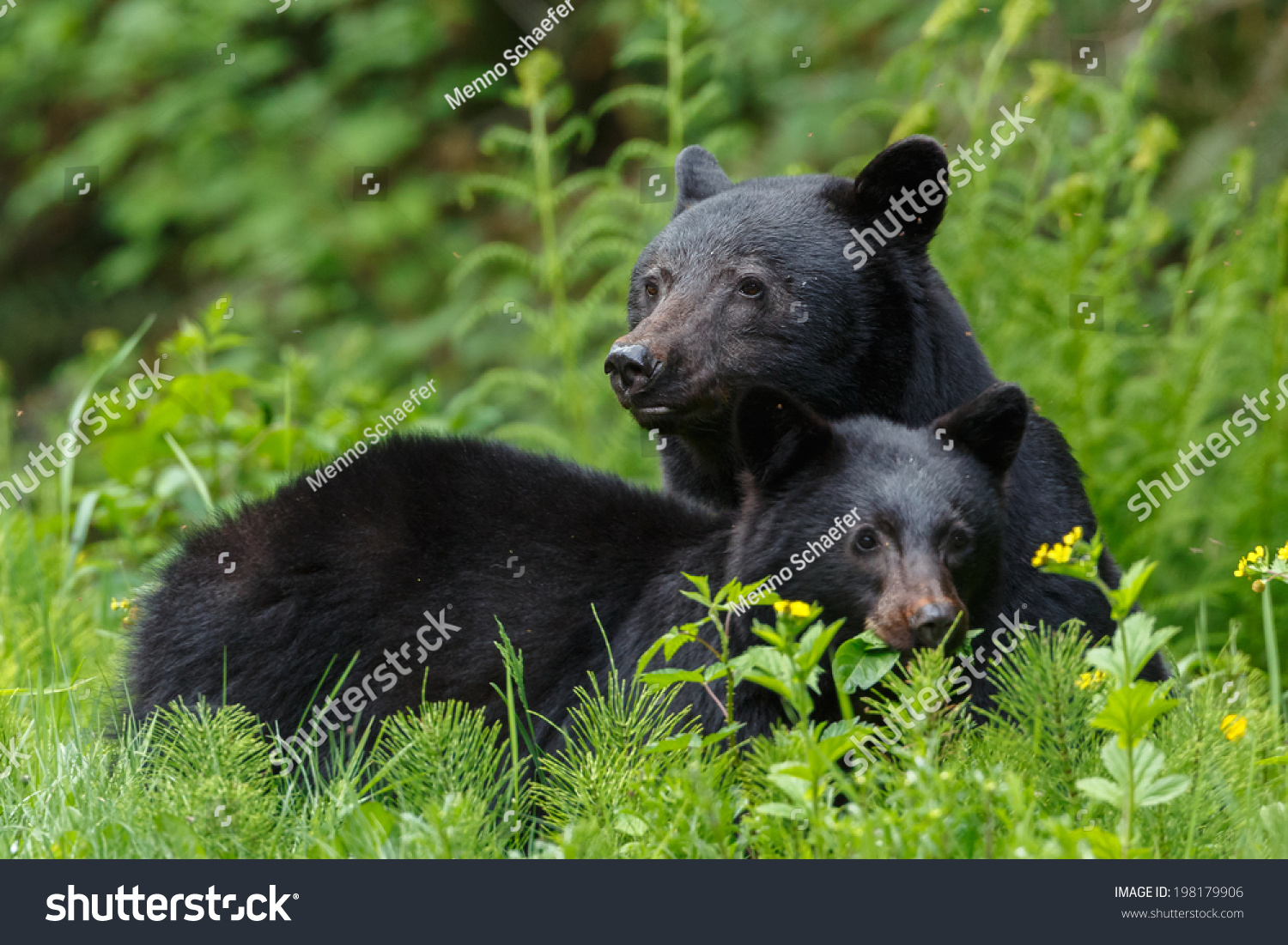 How much does a one year old black bear weight - answers.com