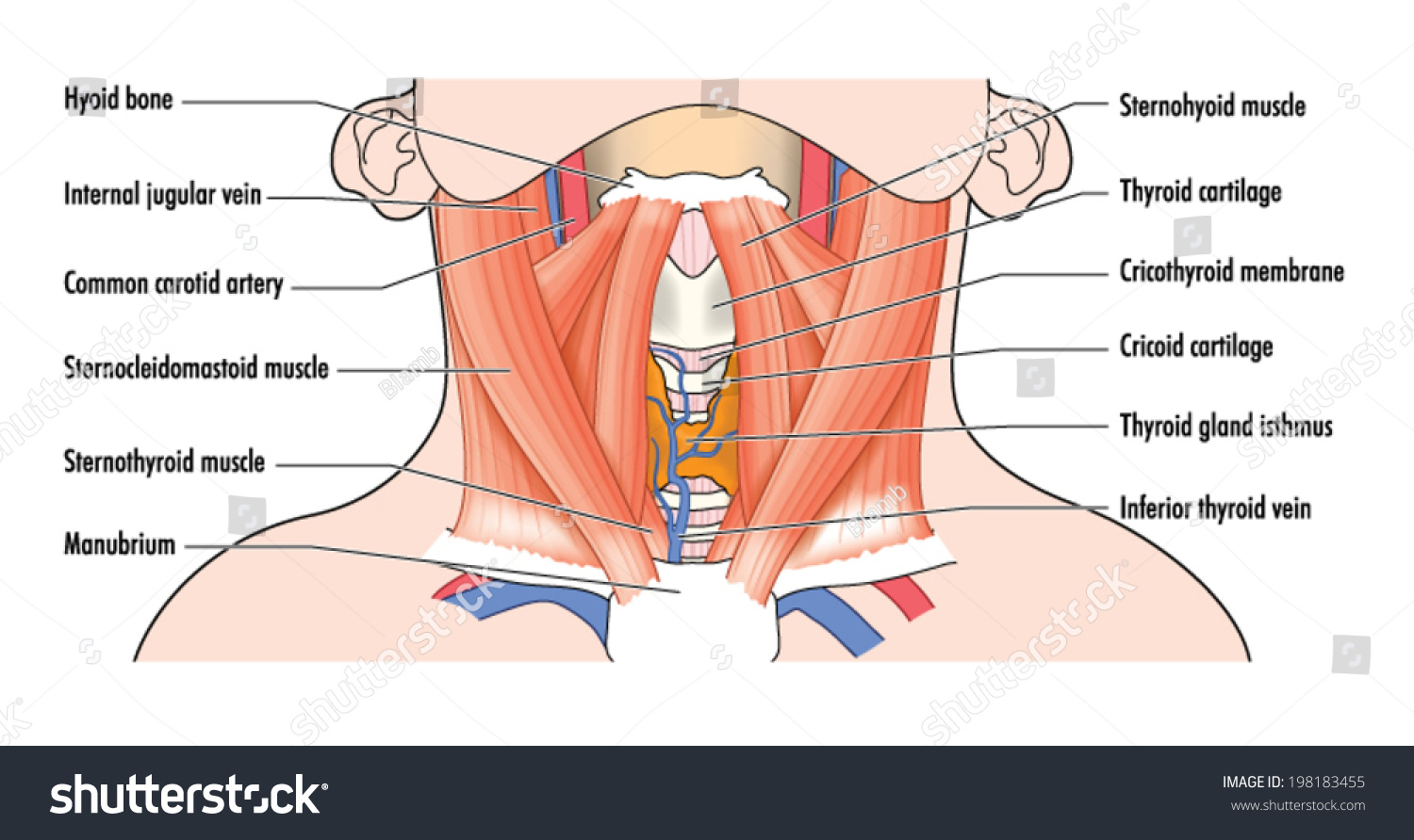 Labelled Drawing Show Anterior Muscles Neck Stock Vector Royalty