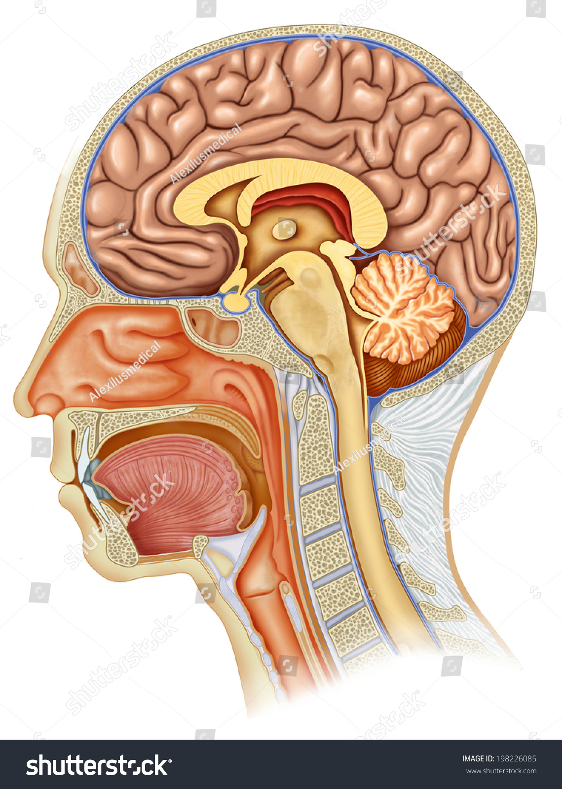 Dissection Human Head Profile All Elements Stock Illustration