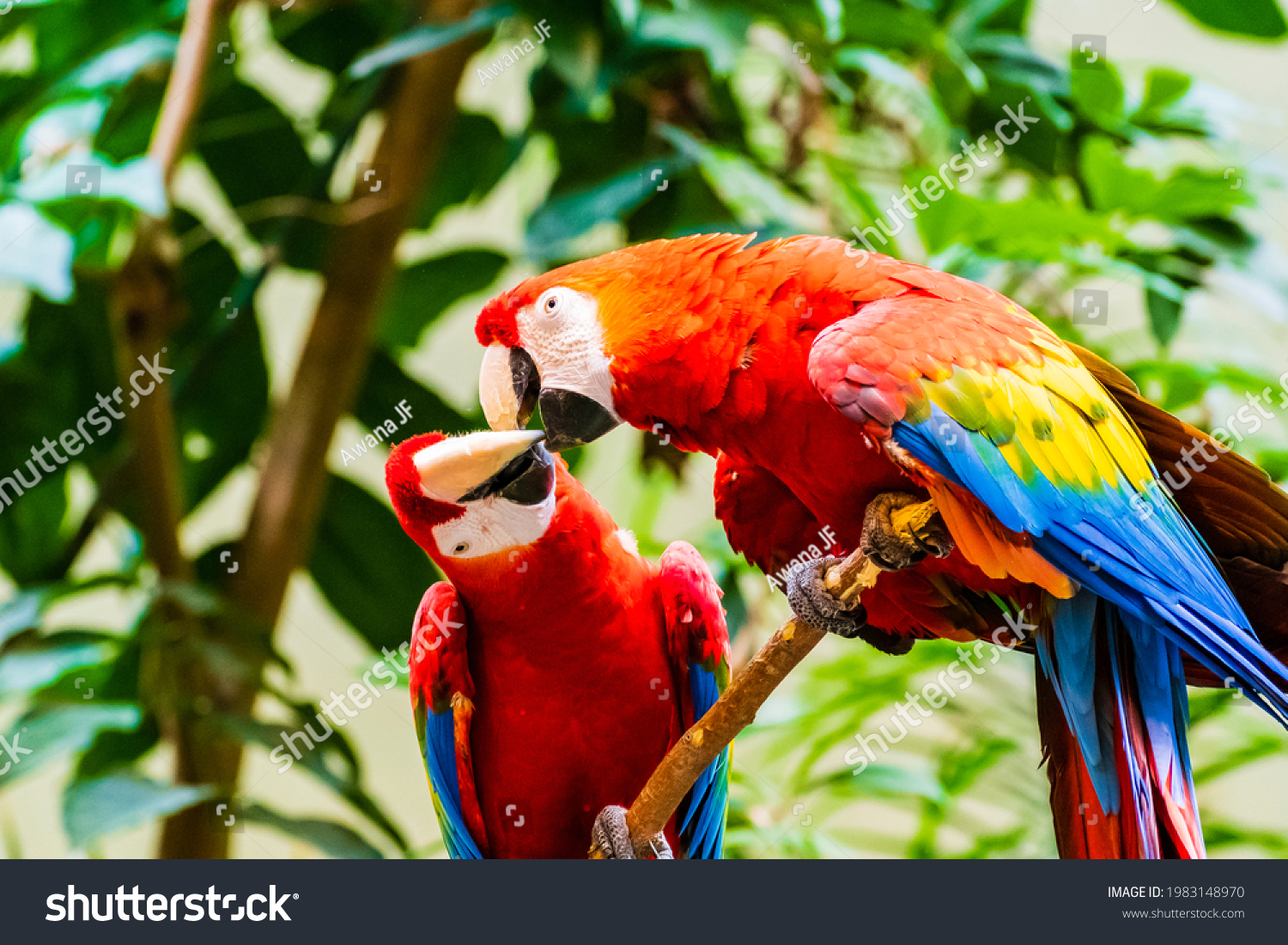 stock-photo-a-cute-pair-of-scarlet-macaw