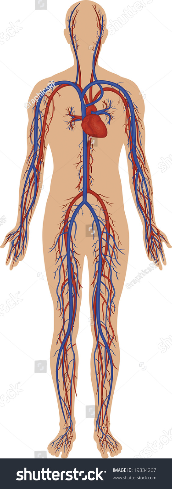 High Detail Illustration Human Circulatory System Stock Illustration