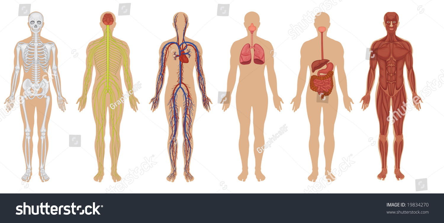 Six Main Human Body Systems High Stock Illustration 19834270