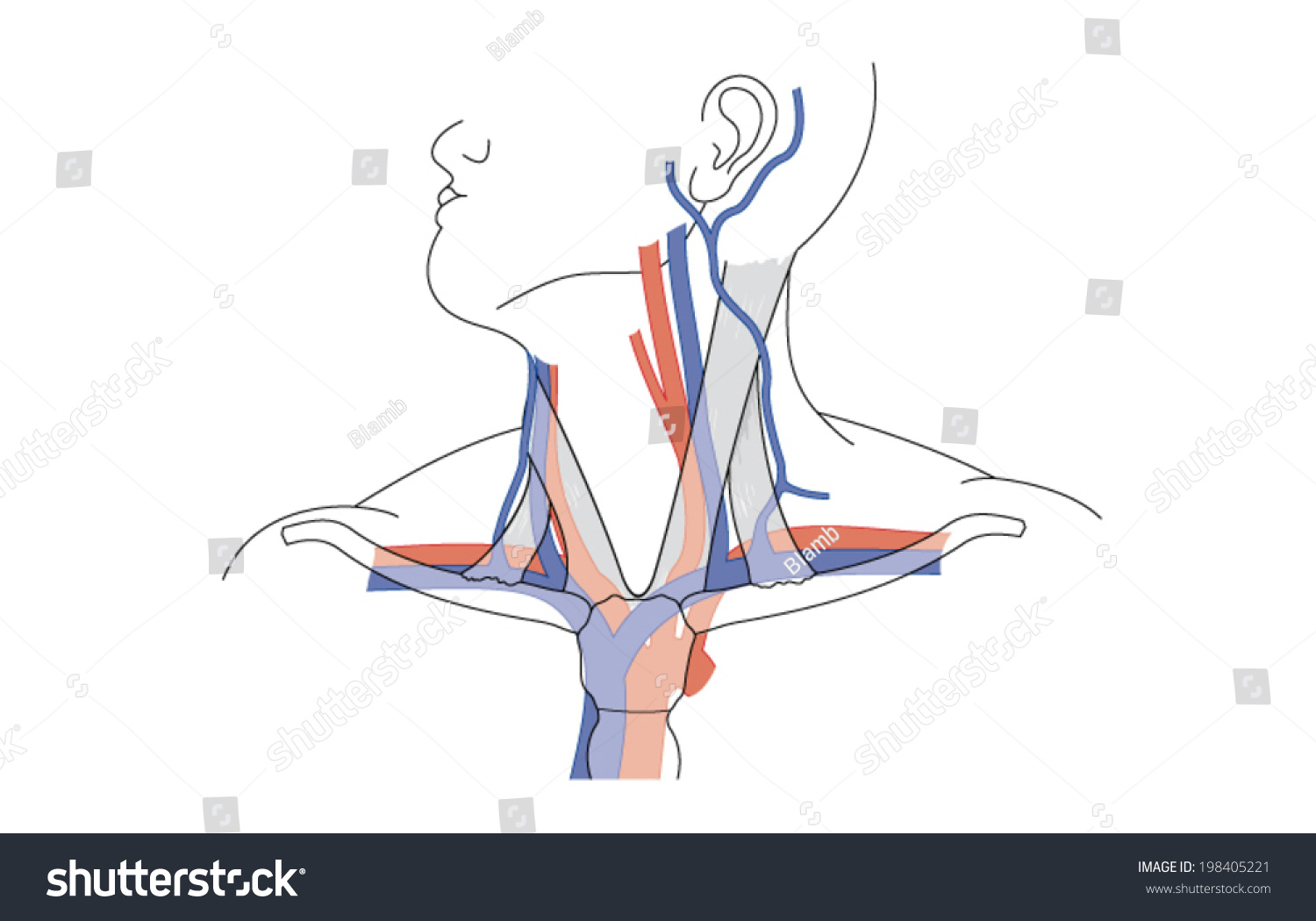 Drawing Showing Major Blood Vessels Neck Stock Vector Royalty Free