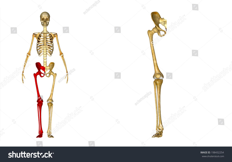 Skeleton Right Leg Stock Illustration 198432254 - Shutterstock
