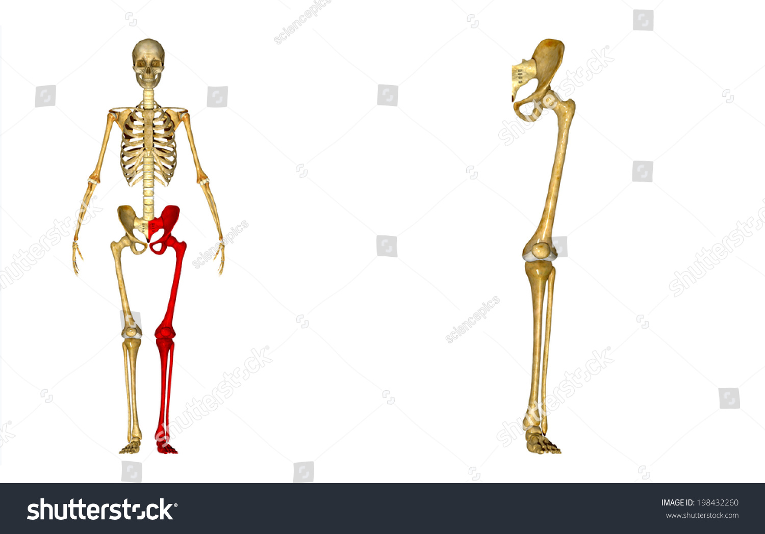 Skeleton Left Leg Stock Illustration 198432260 - Shutterstock