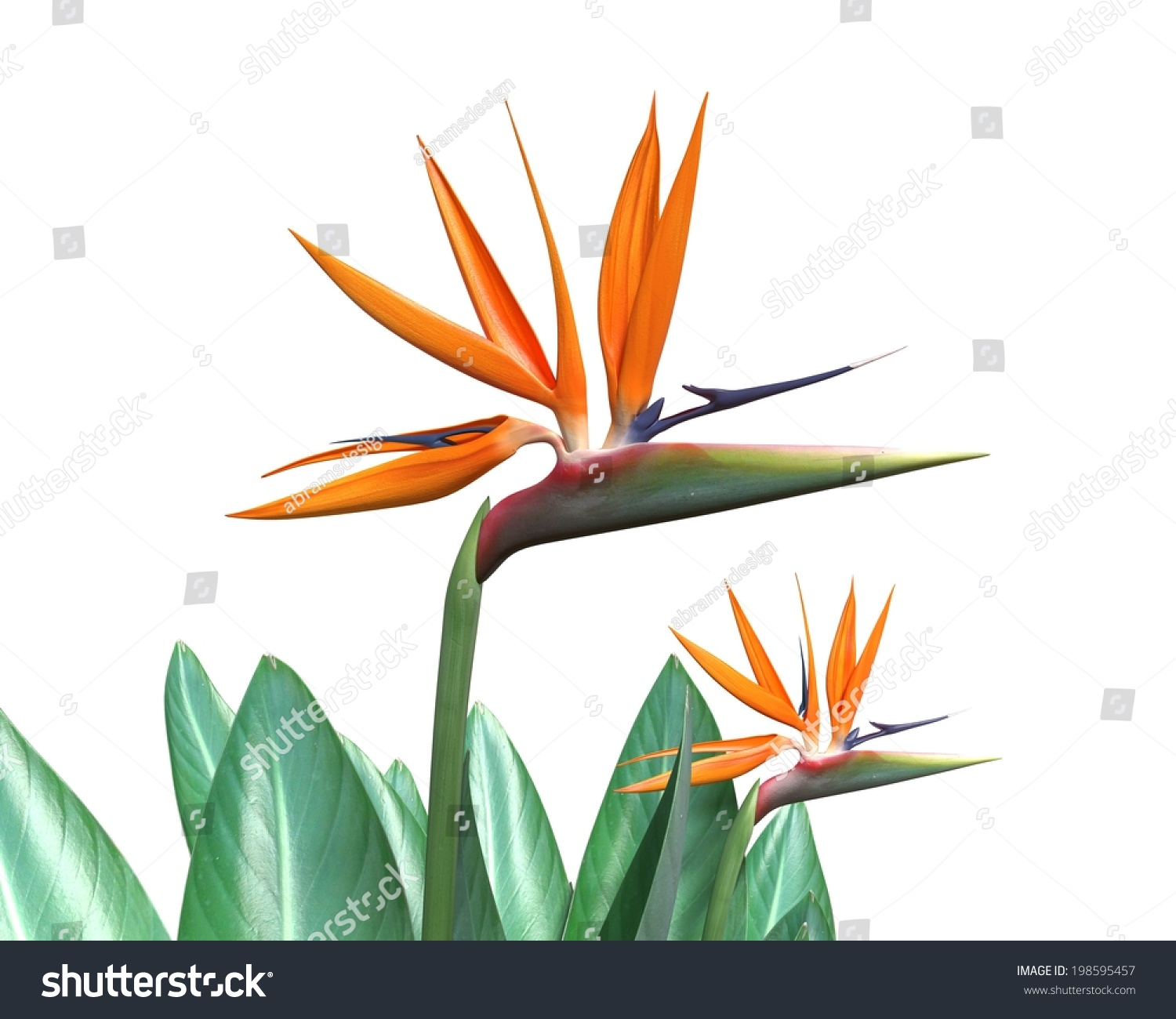 3 d illustration bird paradise flower isolated stock illustration 3d illustration of a bird of paradise flower isolated on white mightylinksfo