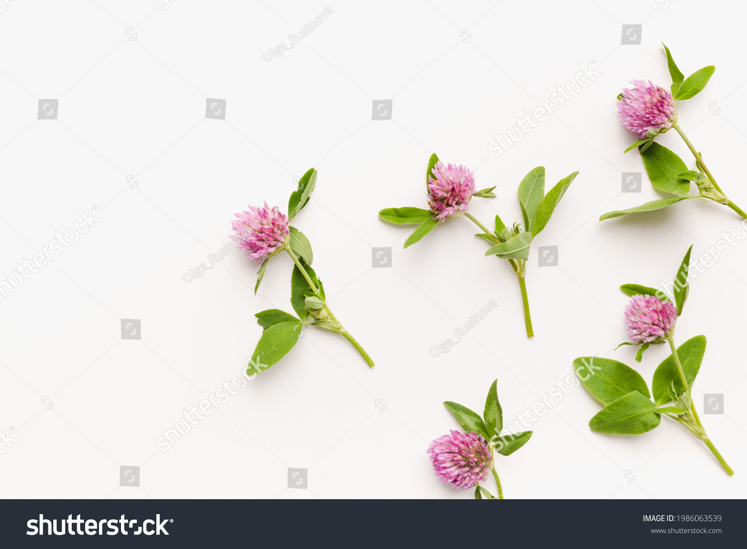 clover flowers on white background, wild clover, blooming clover  #1986063539