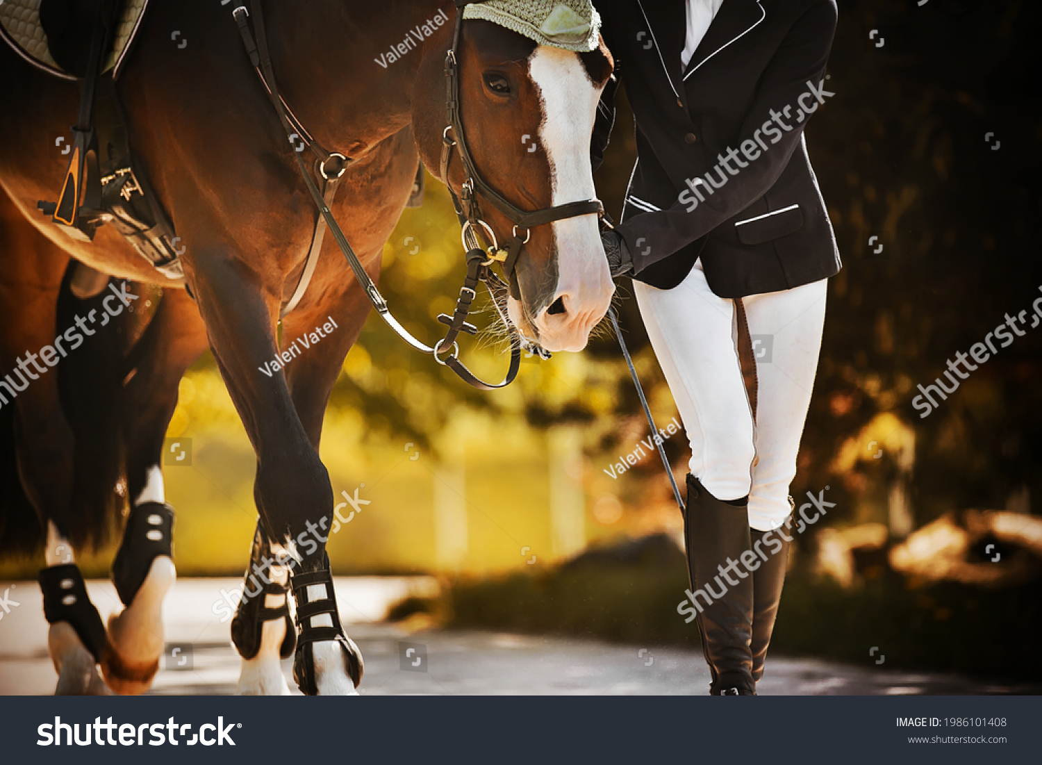 The rider leads her beautiful bay horse by the bridle rein along the road among the leaves of trees on a sunny, warm autumn day. Equestrian sports. Equestrian life. #1986101408