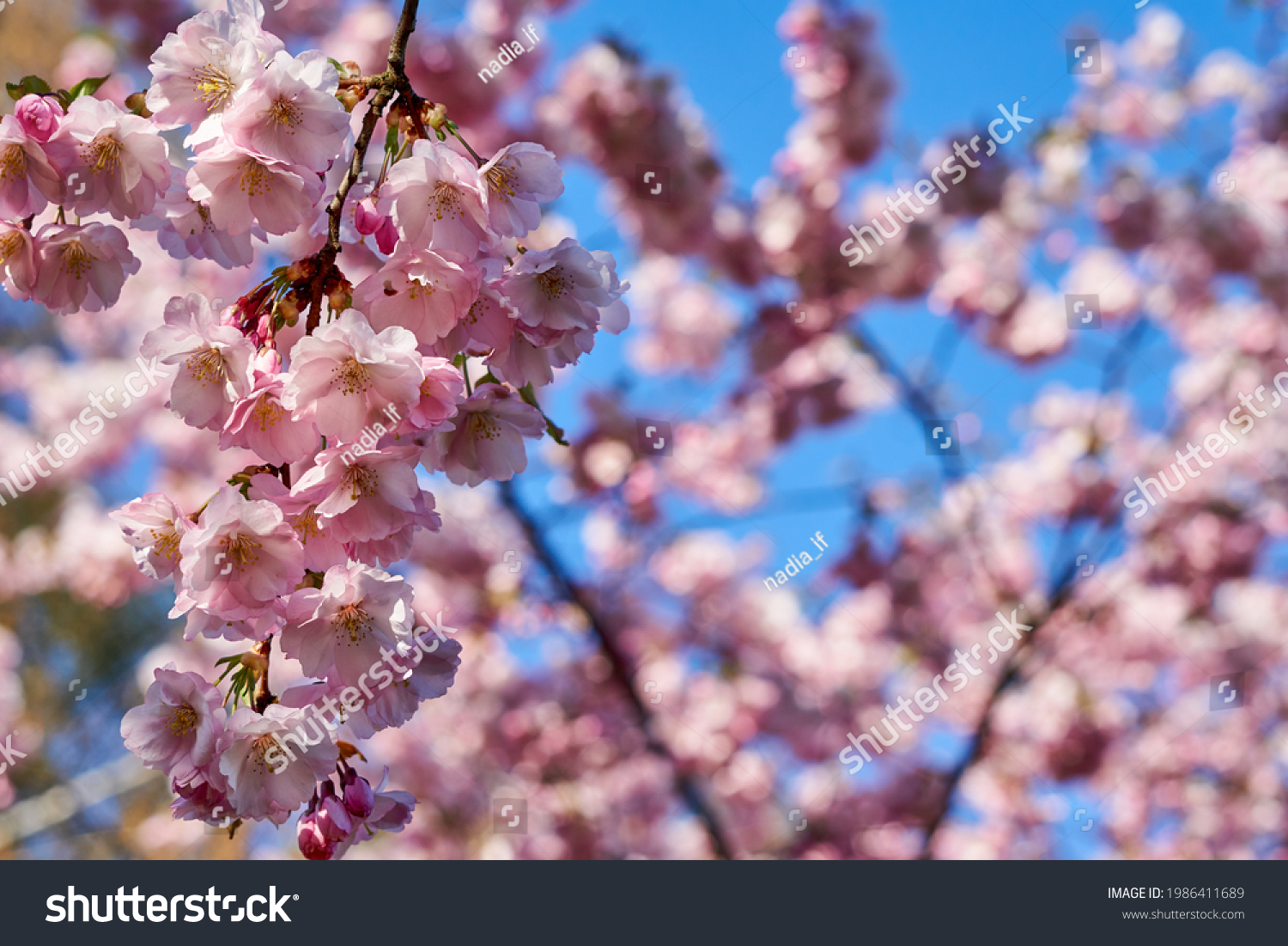 Selective focus of beautiful branches of pink Cherry blossoms on the tree under blue sky, Beautiful Sakura flowers during spring season in the park, Flora pattern texture, Nature floral background. #1986411689