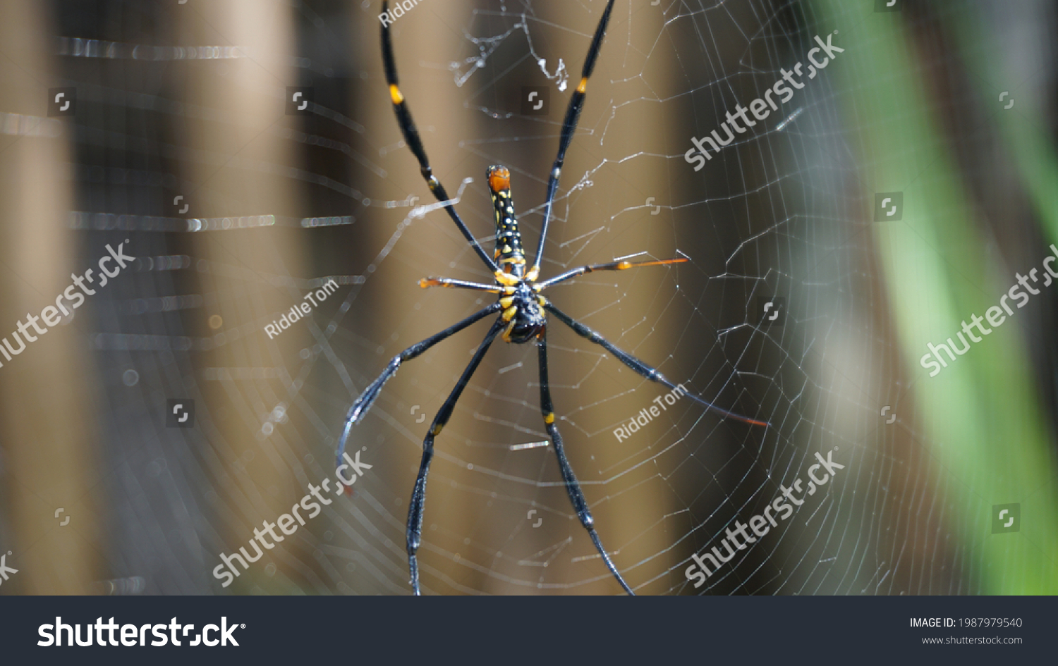 Black and Yellow Spider on the Web #1987979540
