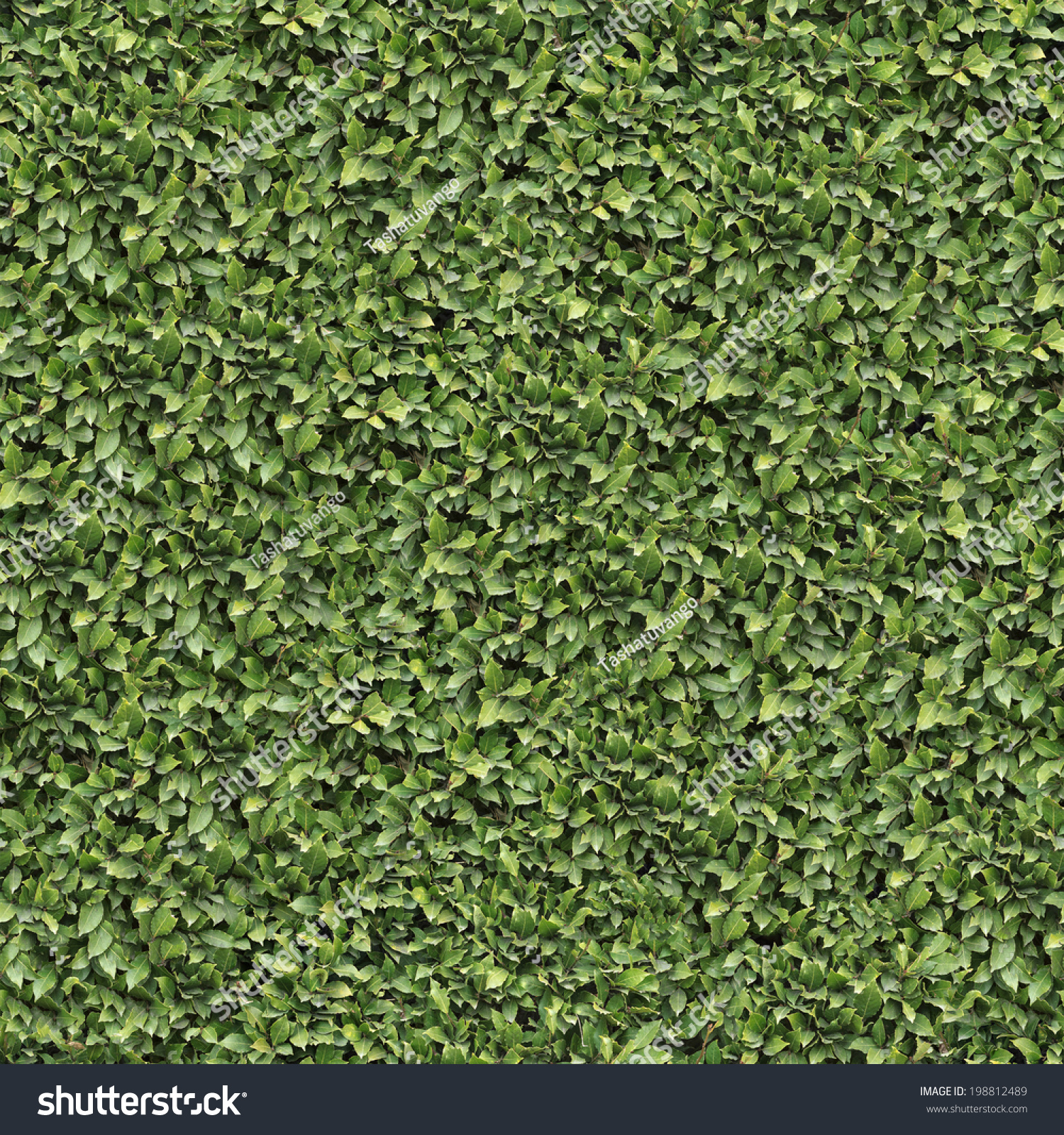 Laurel Bush Surface. Seamless Tileable Texture. Stock ...