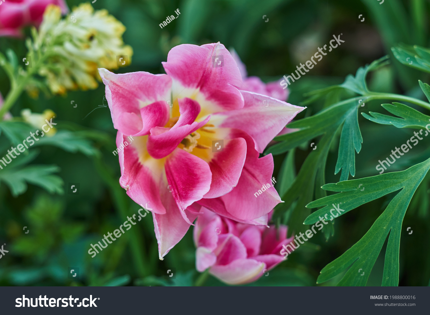 Delicate pink tulips in the garden on a natural green background. Selective soft focus.  #1988800016