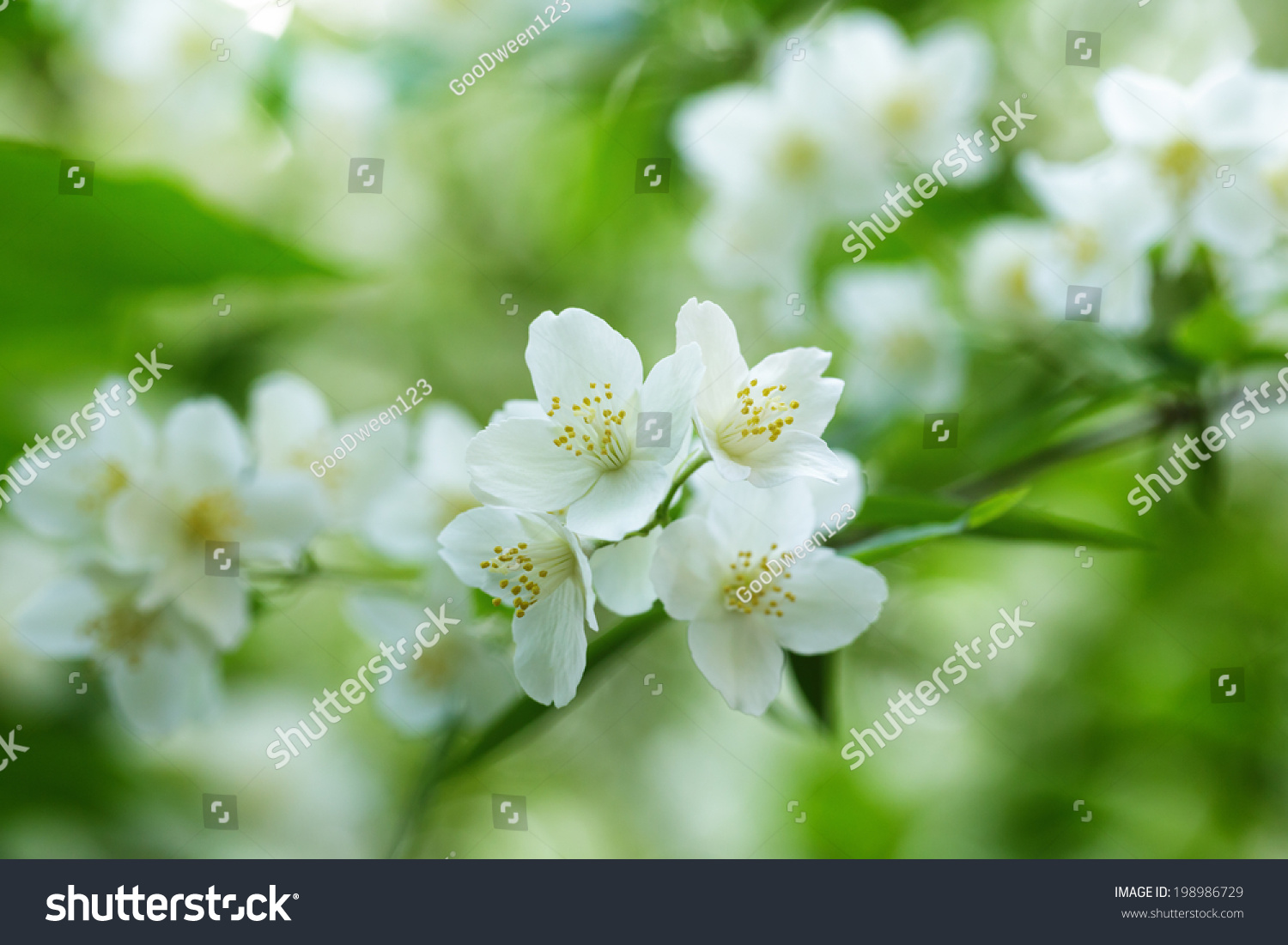 Beautiful Jasmine White Flowers Summer Time Stock Photo Edit Now