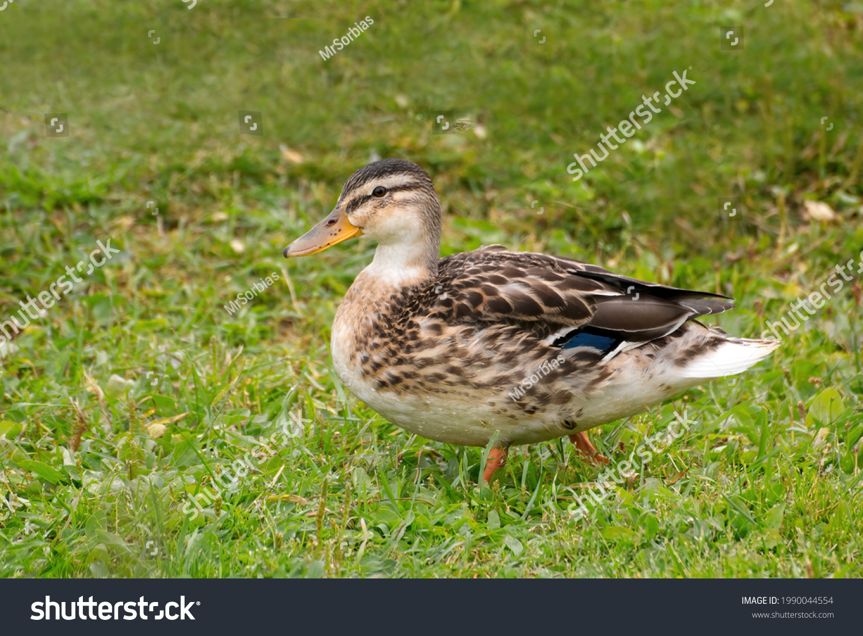 stock-photo-cute-duck-walking-on-a-grass