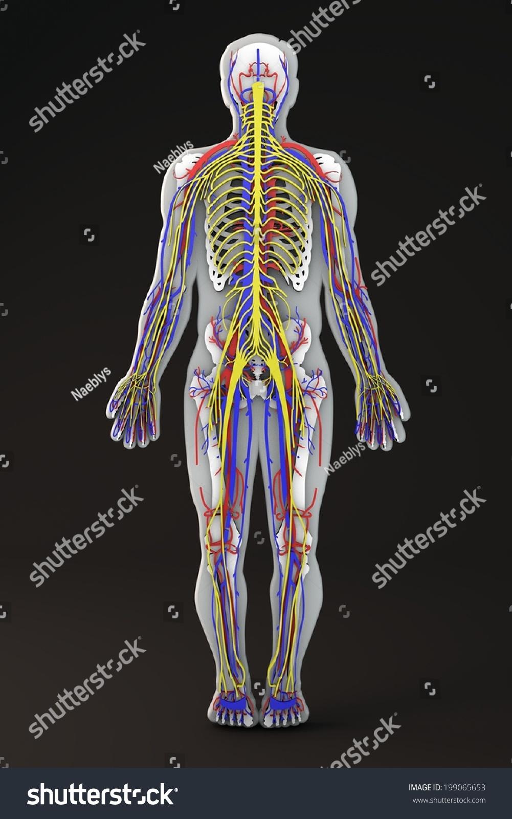 Anastomosis And Its Types