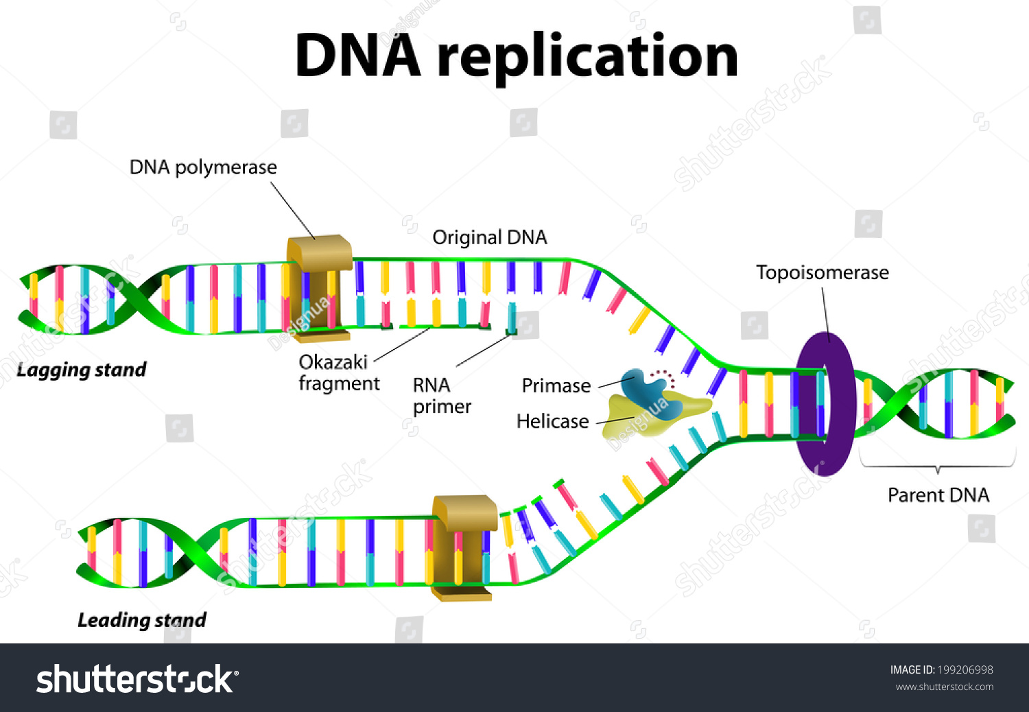 dna replication vector diagram 199206998 shutterstock : dna replication diagram - findchart.co