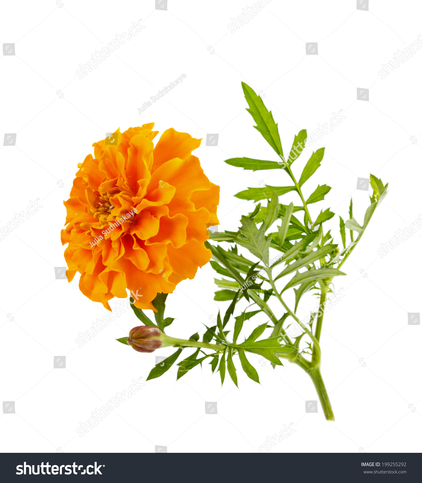 Orange Flower Marigold Isolated On White Stock Photo Edit Now