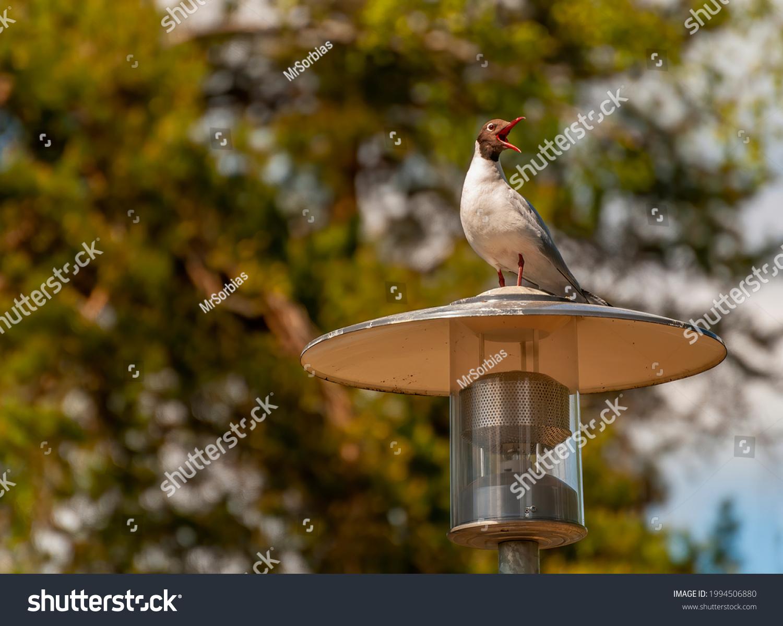 stock-photo-laughing-gull-seagull-larus-