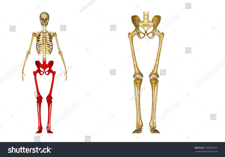 Skeleton Legs Stock Illustration Royalty Free Stock Illustration