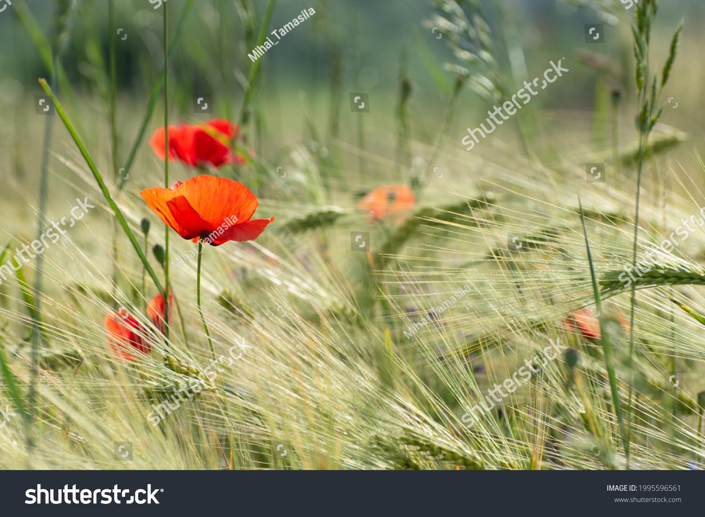 stock-photo-poppy-flower-field-at-sunris