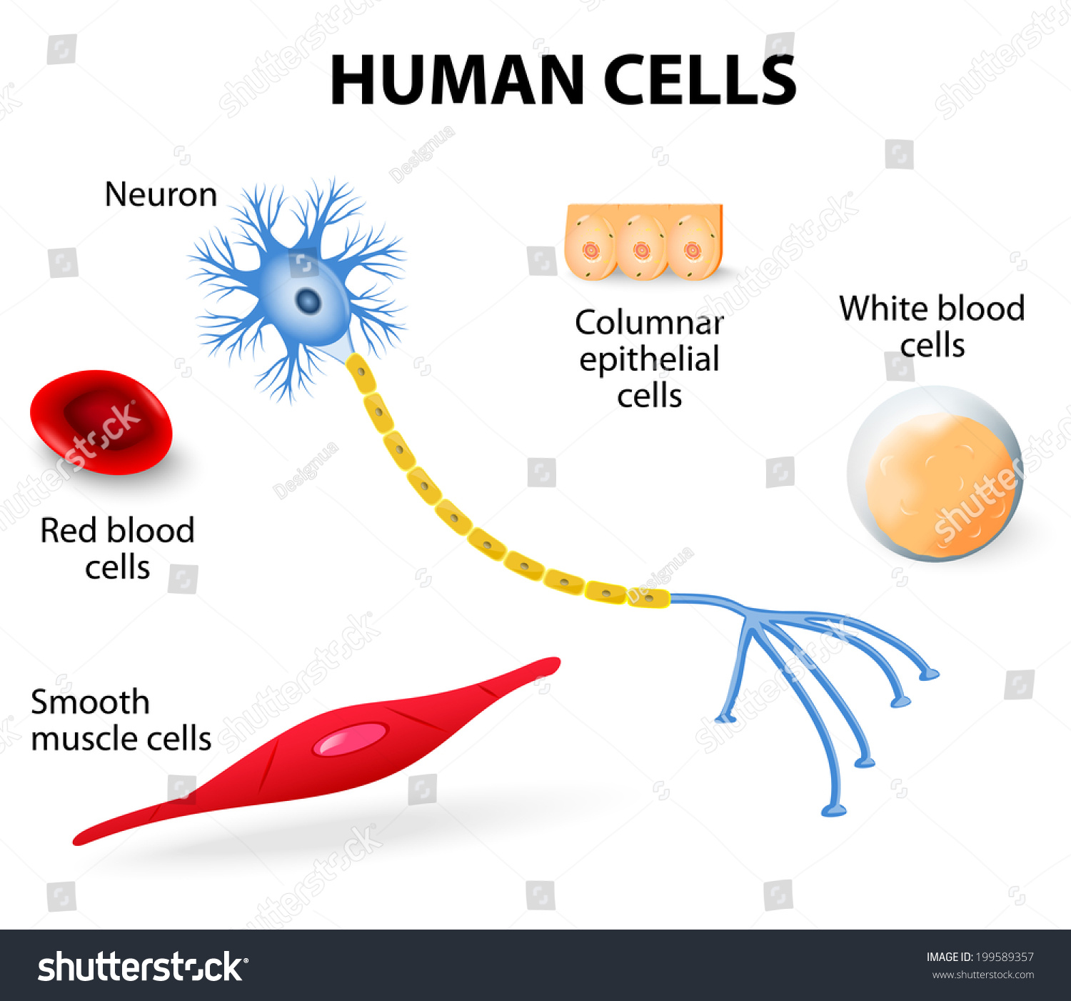Anatomy Human Cells Neuron Red White Stock Illustration 199589357