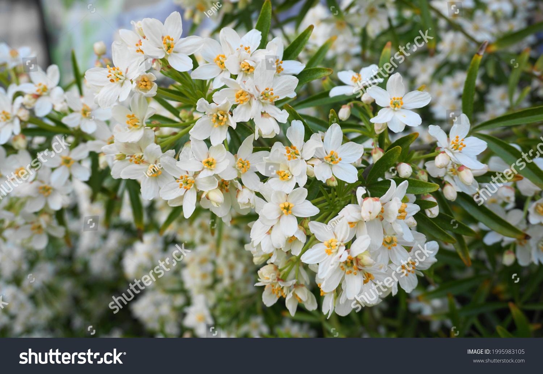 Choisya shrub with delicate small white flowers on green foliage background. Mexican Mock Orange evergreen shrub. #1995983105