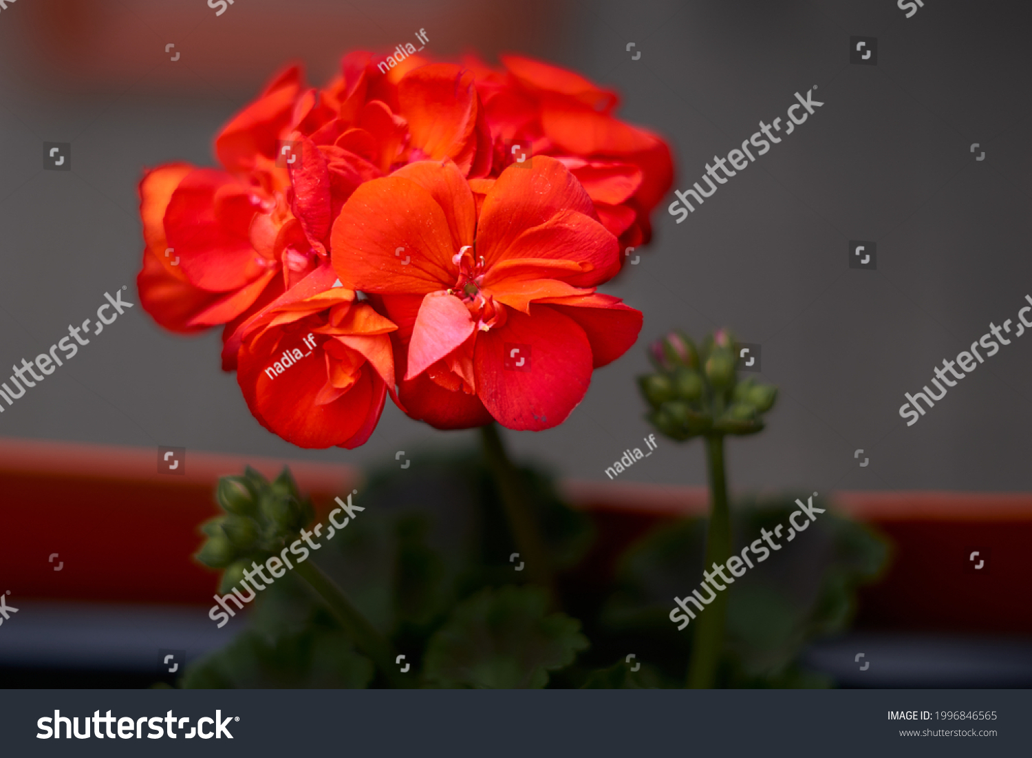 Beautiful blooming red pelargonium in the open yard. These flowers are the decoration of the garden. High quality photo #1996846565