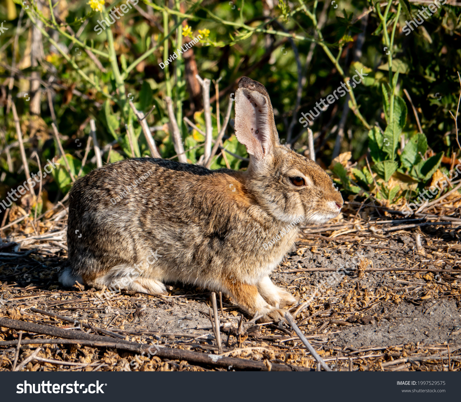 A wild Western Brush Rabbit (Sylvilagus bachmani) forages in the hills of Monterey, California.