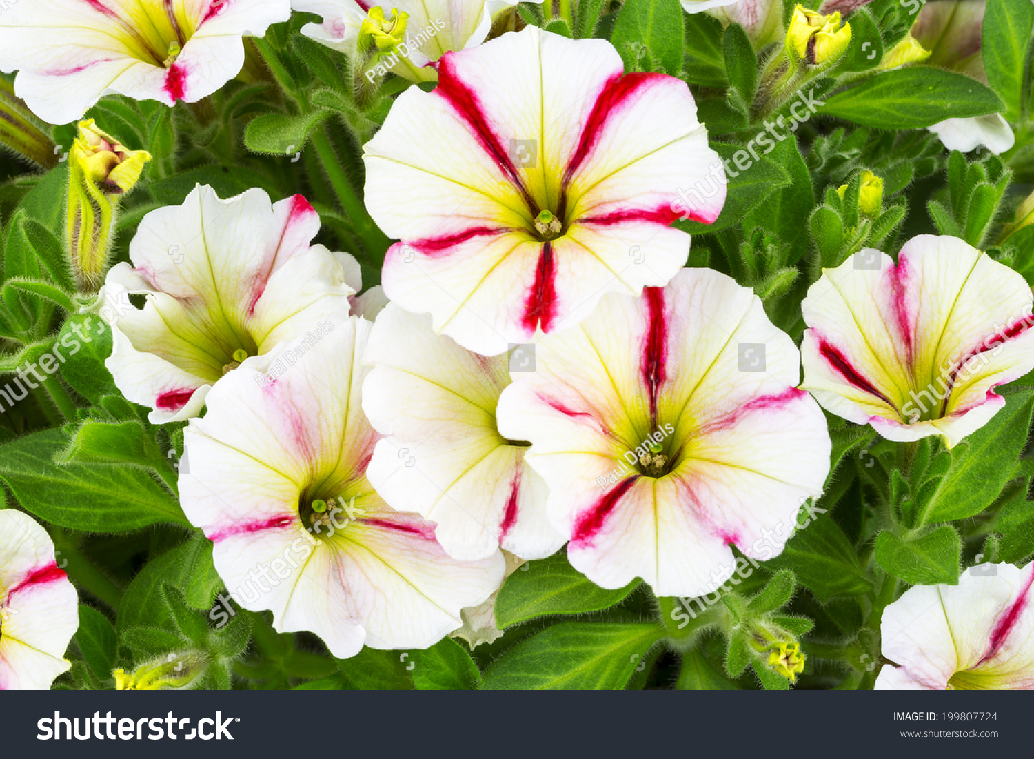 Red White Trailing Petunia Flowers Stock Photo Edit Now 199807724